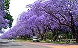 Palisanderbaum 10 frische Samen