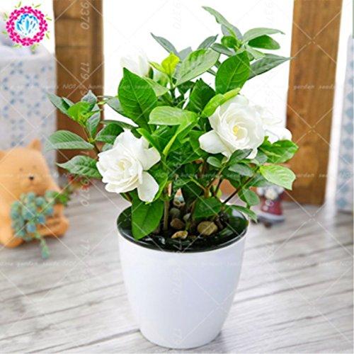 Shopmeeko 2 stücke Gardenia jasminoides zwiebeln bonsai blume Sehr duftende blumen White Cape Jasmin Duftende Blume für HAUPTKANNE PFLANZEN