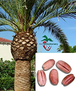 Lumos80 25 Canary Island Date Palm Seeds, (Phoenix canariensis) from Hand Picked