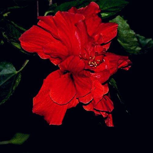 50pcs/sac Hibiscus graines de plantes vivaces utilisation de graines de fleurs Maison et jardin bonsaïs mélangé Couleurs 5