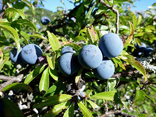Asklepios-seeds® - 60 Samen Prunus spinosa, Schlehendorn, Schlehe, Heckendorn, Schwarzdorn oder Deutsche Akazie