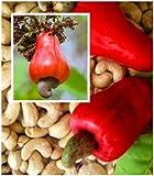 ScoutSeed Semillas de anacardos Anacardium Occidentale Raras semillas de frutales de plantas tropicales