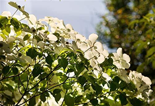 Chinesicher Blumen-Hartriegel Cornus kousa chinensis im Topf gewachsen ca. 60-80cm