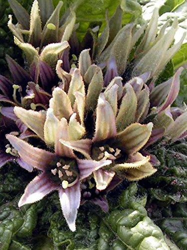 Alraune (Mandragora officinarum) 10 Samen der magischen im Frühling blühenden Zauberpflanze