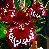 KINGDUO Egrow 200Pcs/Bolso De Orquídeas Raras Semillas De Plantas De Crecimiento Natural Semillas De Flores para Home Garden-Rojo
