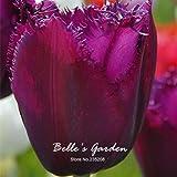5pcs Raras púrpura del tulipán Bulbos Bonsai flor del tulipán Tulipa 'púrpura Curie' Inicio del jardín en maceta plantas perennes bulbos de flores