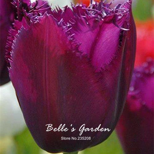 5pcs Rare Violet Tulip Bulbes Bonsai fleur de tulipe Tulipa « Purple Curie » jardin en pot Plantes vivaces bulbes de fleurs