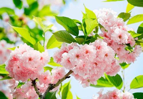 Fototapete Japanische Kirschblüte Baum Blüte Nahaufnahme rosa - Größe 366 x 254 cm, 8-teilig