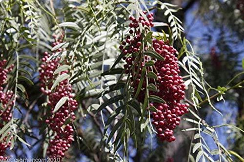 Peruanischer Pfefferbaum Schinus molle 10 Samen