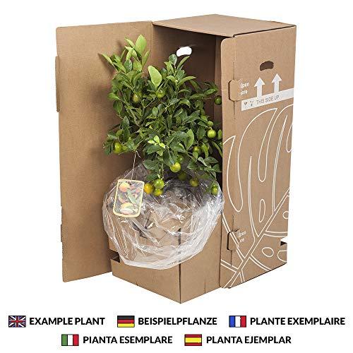 BOTANICLY | Gartenpflanze | Corokia Cotoneaster | 30 cm | Set aus 2 Pflanzen - 7