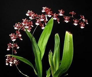 Orquídea Chocolate -Adulta