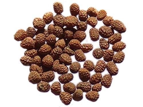 Tabac d'Ornement - 0,10 grammes - Nicotiana Alata Tinkerbell F2 Mix - SEM05