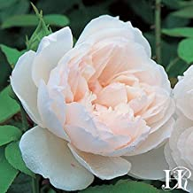 Own-Root One Gallon The Generous Gardener David Austin Rose by Heirloom Roses