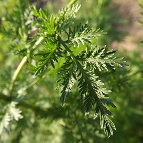 Semillas De Plantas De Artemisia Annua, 50 Piezas/Bolsa Semillas Semillas De Hierba Fresca Resistentes Al Calor Ecológicas Para Plantar Jardín Patio Al Aire Libre Semilla
