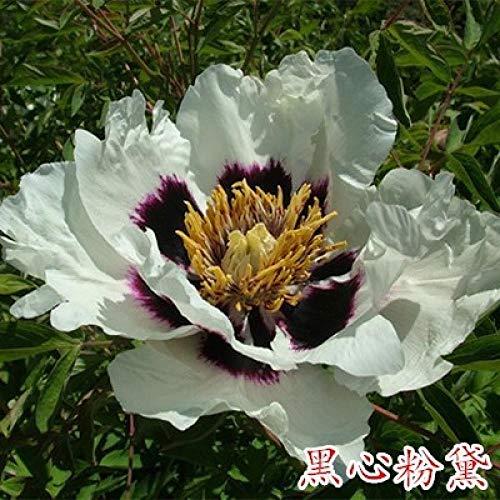 Raras Semillas de Hierba,Flor de peonía en Maceta Planta de jardín multirramado-2 brotes_O,Semillas de macetas de Flores