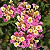 Plant World Seeds - Lantana Camara Seeds #1