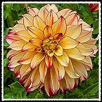 ダリア球根,ゴージャス、 花の球根、初心者に適しています,にぎやかチャーミングな香り,中庭の装飾,冬の植栽-20球根,2