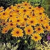新鮮な5000個の種子 - オオハンゴンソウ属Hirtaマーマレード花の種