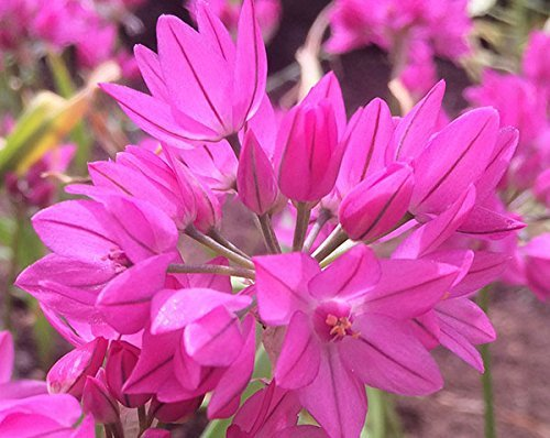 Allium Ostrowskianum Blumenzwiebeln,...