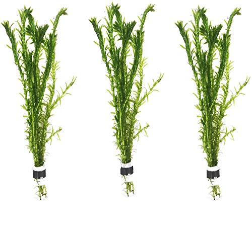 3 Bundles Anacharis 'Egeria Densa' Elodea Live Aquarium Plants Freshwater Pond Aquatic Water Plant Decorations by Greenpro