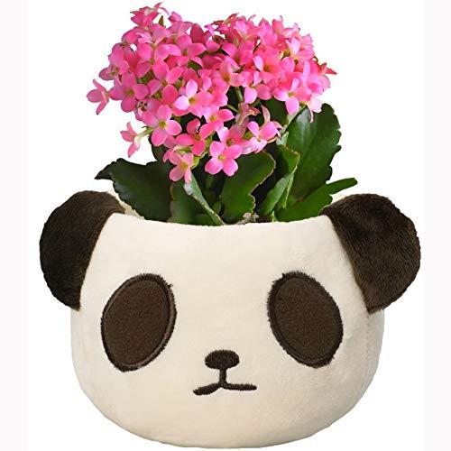 花のギフト社 カランコエ鉢植え からんこえ鉢植え 植花 からんこえの花 カランコエ パンダギフト