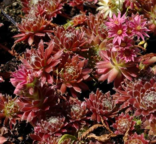 Hauswurz Red Beam - Dachwurz - Sempervivum hybr. Red Beam
