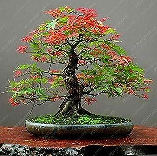 20 Bonsai/Pack 100% Real Ghost Blue Maple Tree Bonsai Bonsai Acer palmatum atropurpureum, Bonsai SOW All Year : Dark Khaki