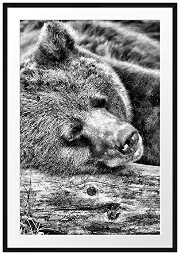 Picati Bär schläft auf Baumstamm Bilderrahmen mit Galerie-Passepartout/Format: 100x70cm / garahmt/hochwertige Leinwandbild Alternative