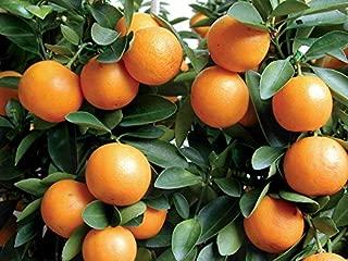 Live Plant Meiwa Kumquat Trees Real 3