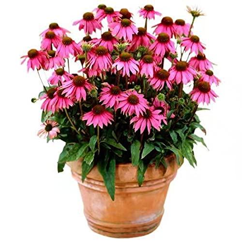 Fuduoduo Semillas De BonsáI En Macetas para,Planta fácil de Vivir Semillas de crisantemo morado-200PCS_Purple celephone,Semillas De Plantas Verdes