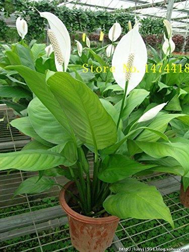 Go Garden Spathiphyllum Samen, Topf Bkon, Pflanzen ist einfach, angehende Rate von 95%, Strahlungsabsorption, Mischfarben 100PCS