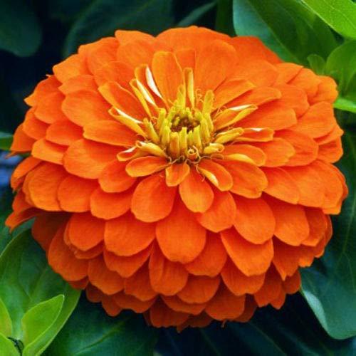 Zinnia Dahlia Orange, Zinnia Elegans, 120 Samen