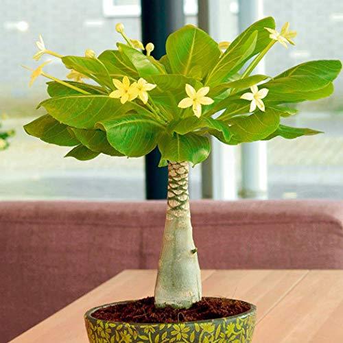 Xianjia Garten - Hawaii Palme Samen pflegeleichten Zimmerpflanzen blühend Brighamia insignis rarität Bonsai saatgut tropisches Feeling winterhart mehrjährig (100)