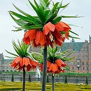 10 Bulbs : Bolly Bulbs - Fritillaria Imperialis 'Rubra Maxima' (10 Bulbs)