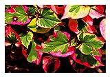 *ZAC Wagner Wunderschöne Chamäleonpflanze Eidechsenschwanz (Houttuynia cordata)