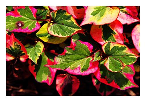 ZAC Wagner Wunderschöne Chamäleonpflanze Eidechsenschwanz (Houttuynia cordata)