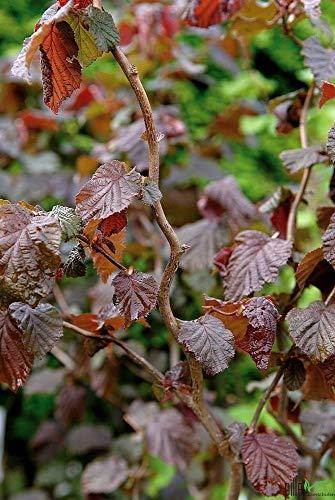 rote Korkenzieher Haselnuss auf Stamm Corylus Red Majestic Stammhöhe 80 cm