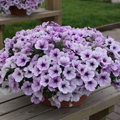 Kalash Neue 200 PC Petunia Blumensamen für Garten Licht violett