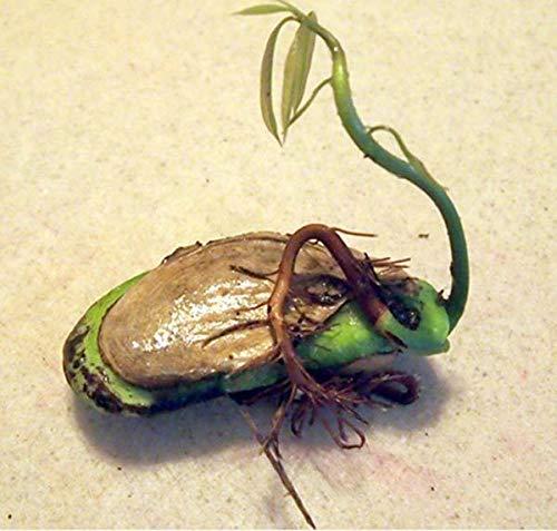 PLAT FIRM GRAINES DE GERMINATION: keimte Seed in der Neuen 2 Samen Saison FRISCHE Mango Mangifera indica ANACARDIACEAE