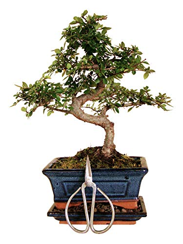 Anfängerset Bonsai-Set Ulme - 3 teilig - ca. 30 cm hoher Ulmen Bonsai, 1 Schere und 1 Untersetzer