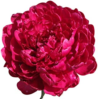 Special Sale: Phillipe Rivoire Double Dark Red Peony Bare Root 3-5 Eyes