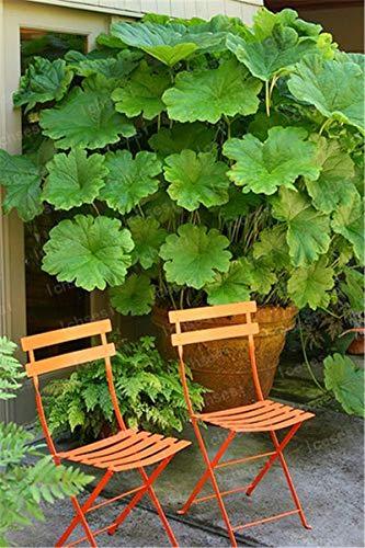 HONIC 50 PC/Mammutblatt Bonsai Genannt Auch Riese Rhabarber Bonsai Huge Blätter im Freien Pflanze im Garten im Halbschatten wachsen