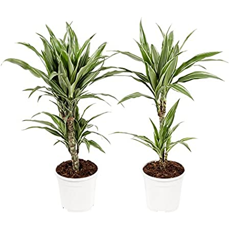 plante dépolluante dracaena)