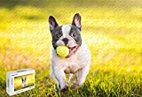 300 Piece Jigsaw Puzzle - French Bulldog with Tennis Ball Mural Home Decoration Poster Wooden 20.6 X 15.1 Inch