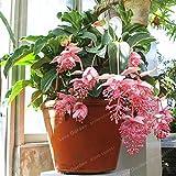 Pinkdose Medinilla Magnifica Pflanze sehr schöne...