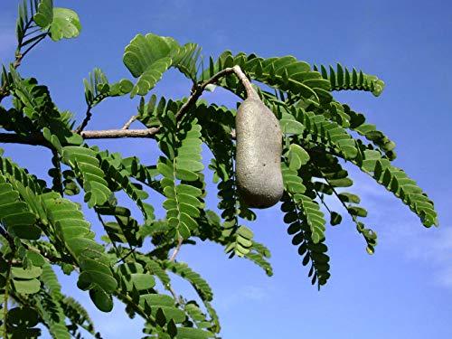 Saure Tamarinde Tamarindus indica Pflanze 5-10cm indische Dattel Tamarindenbaum