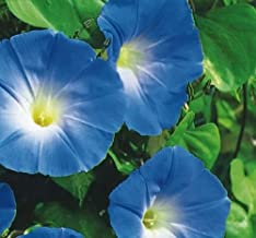 Ipomoea / Morning Glory - Heavenly Blue - 85 Seeds