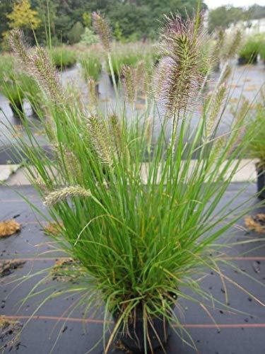 Pennisetum alopecuroides Hameln - Niedriges Lampenputzergras/Federborstengras Hameln -