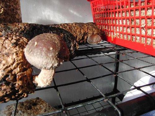 Semilla de hongo Shiitake Mushroombox (TM)