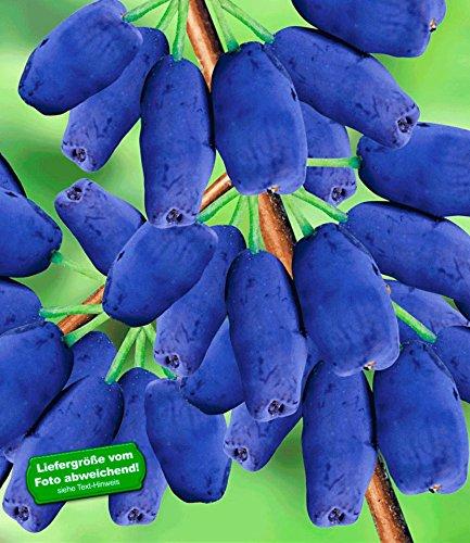 BALDUR-Garten Maibeeren® 'Maitop®', 1 Pflanze, Lonicera kamtschatica